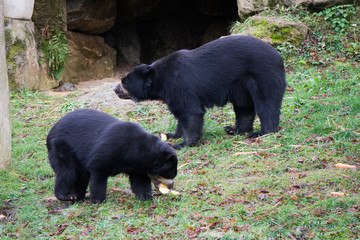 Spectacled bears feeding on fruits at the zoo