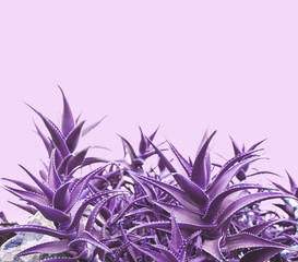 Purple aloe