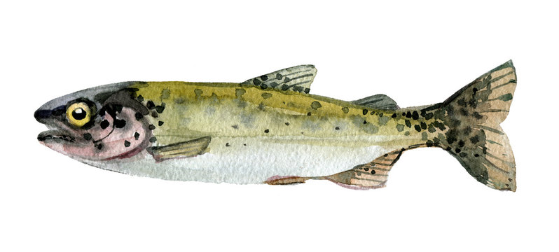 Trout isolated on a white background, watercolor illustration