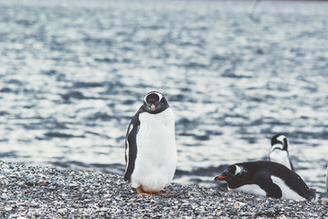 Island of Penguins in the Beagle Channel, Ushuaia, Argentina.