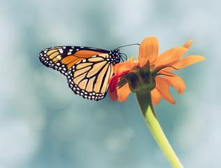 Monarch butterfly (Danaus plexippus) żywienia na meksykańskiej słonecznika. Niebieskiego nieba tło z rocznika filtra skutkami.