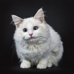 Blue eyed ragdoll cat / kitten laying isolated on black background facing camera waiting