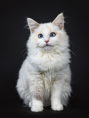 Blue eyed ragdoll cat / kitten sitting isolated on black background looking at the lens