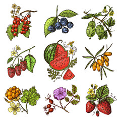 Set berries. raspberry, blueberry, sea buckthorn, red currants, strawberry, gooseberry, watermelon, cloudberry, dog rose, blueberry, raspberry. engraved hand drawn in old sketch, vintage style.