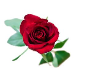 Romantic dark velvet red rose isolated on white background.