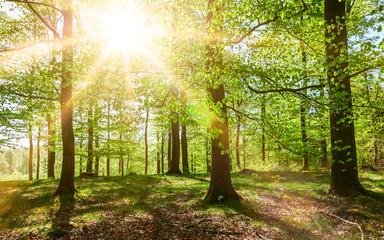 Buchenwald mit Sonnenschein im Frühling