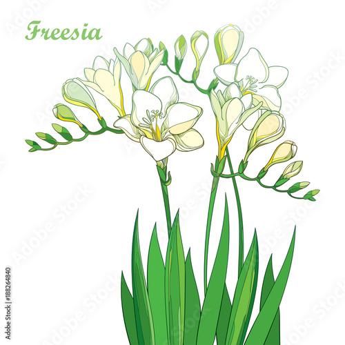Vector outline pastel white freesia flower bunch with bud and green vector outline pastel white freesia flower bunch with bud and green leaves isolated on white background mightylinksfo