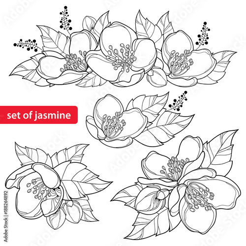 Vector set with outline Jasmine flower bunch, bud and ornate