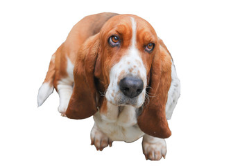 Lovely basset hound tricolor white background isolated and clipping path.