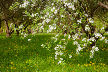 Landscape with blossoming Apple garden in spring