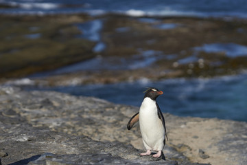 Rockhopper Penguin (Eudyptes chrysocome) returns to its colony on the cliffs of Bleaker Island in the Falkland Islands