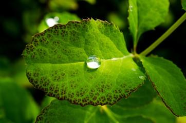 Spherical water drop on Leaf