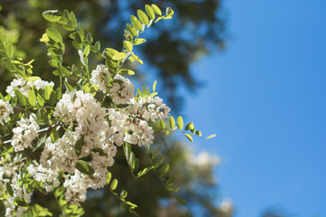 Closeup of lovely flower of white acacia against the blue sky in the spring