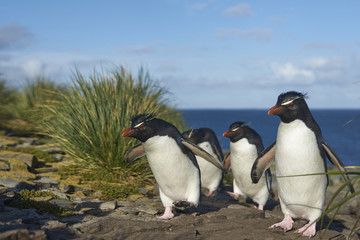Rockhopper Penguins (Eudyptes chrysocome) return to their colony on the cliffs of Bleaker Island in the Falkland Islands