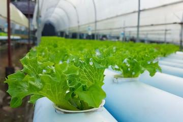 Green lettuce in hydroponics farm.