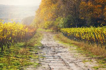 jesienne winnice i organiczne winogrona na gałęziach winorośli