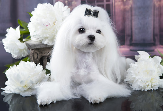 Maltese lapdog and white peonies