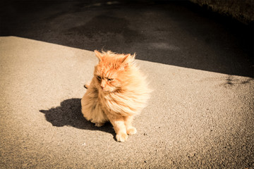 Pretty ginger persian cat outside a house