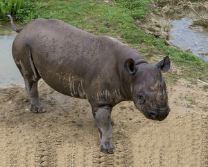Rhinoceros drinks water from a puddle.