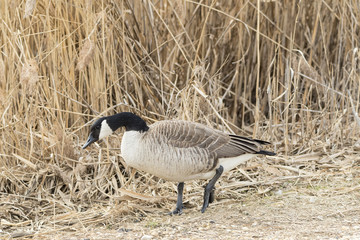 Canada Goose on shore of pond.