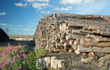 Woodpile with felled burnt trees after a large forest fire in sweden