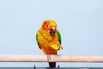 Sun parakeet parrot eating with nature