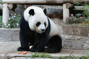 Male Giant Panda in Thailand