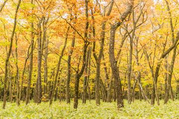 Yellow forest at Nikko , Tochigi prefecture in autumn