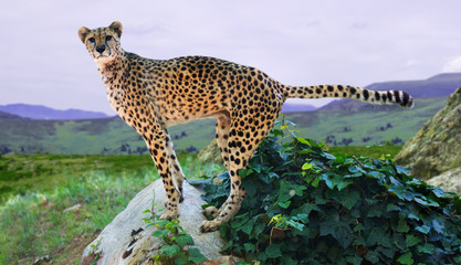 adult cheetah standing on stone