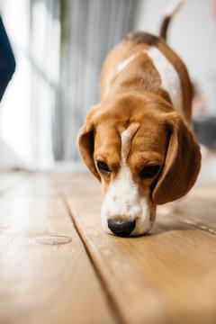 A portrait of a beagle dog