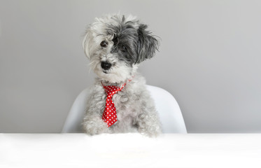 Cute Surprised Dog with Red Tie on a Gray Background. Concept of Canine Emotions