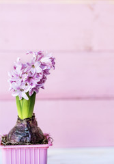 Pink  Hyacinth Flower on a Pink Wooden  Background with Copy Paste