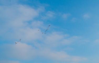 Geese flying in a blue sky in winter
