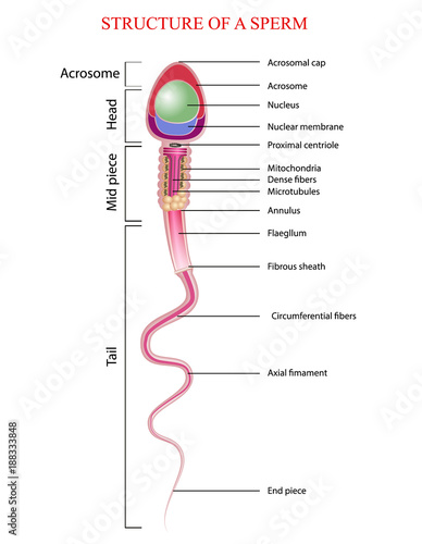 Spermatozoon - Wikipedia