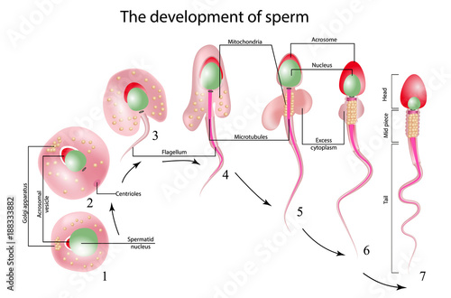"""structure of spermatozoon"""" Stock image and royalty-free vector ..."""