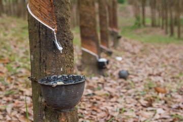 close up rubber latex drop from rubber tree to pot