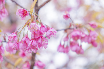 Soft focus Giant tiger flowers (Cherry blossom) on diffuse background in Springtime.