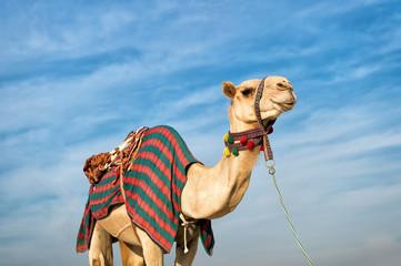camel against blue sky