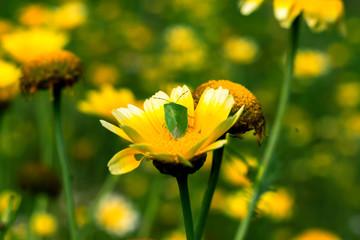 Field of daisy flowers.