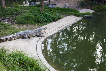 Crocodiles are larger crocodile animals living in connection with water