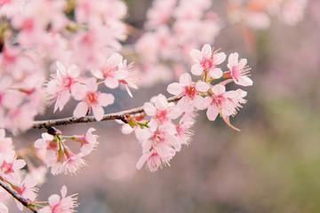 Wild Himalayan Cherry (Sakura) or Wild Himalayan tree. Beautiful Pink Flowers in north of Thailand