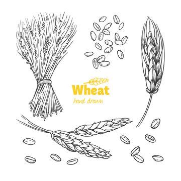 Wheat hand drawn illustration