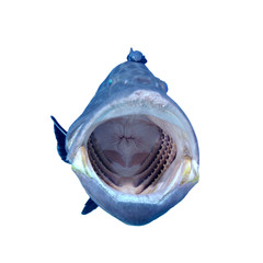 Grouper fish mouth jaws isolated on white background