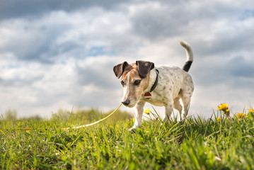 Hound follow a trail on the long  leash - Little Jack Russell Terrier Dog 10 years old. Hair style smooth