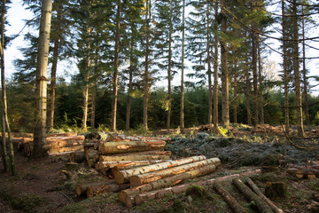 Thinned Woodland with cut logs at ground level in low winter sunshine