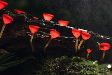 Champagne red mushroom