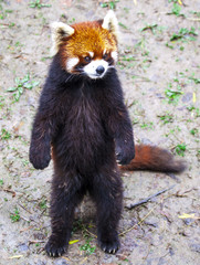Red Panda. Red Panda stands on its hind legs.Red Panda closeup.