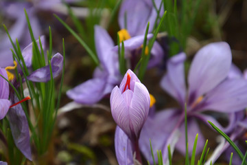 Flowers of Saffron