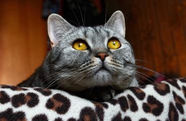 Pensive look of a cat