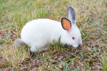 grazing white rabbit